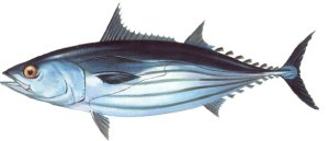 FAO Species Fact Sheet, Katsuwonus pelamis (Linnaeus 1758), http://www.fao.org/fishery/species/2494/en, accessed