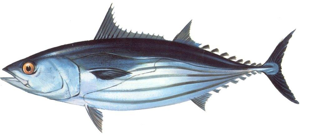 FAO Species Fact Sheet, Katsuwonus pelamis (Linnaeus 1758), http://www.fao.org/fishery/species/2494/en